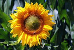 opening up sunflower
